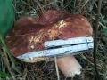 Самый большой белый гриб на Селигере 2010 года.