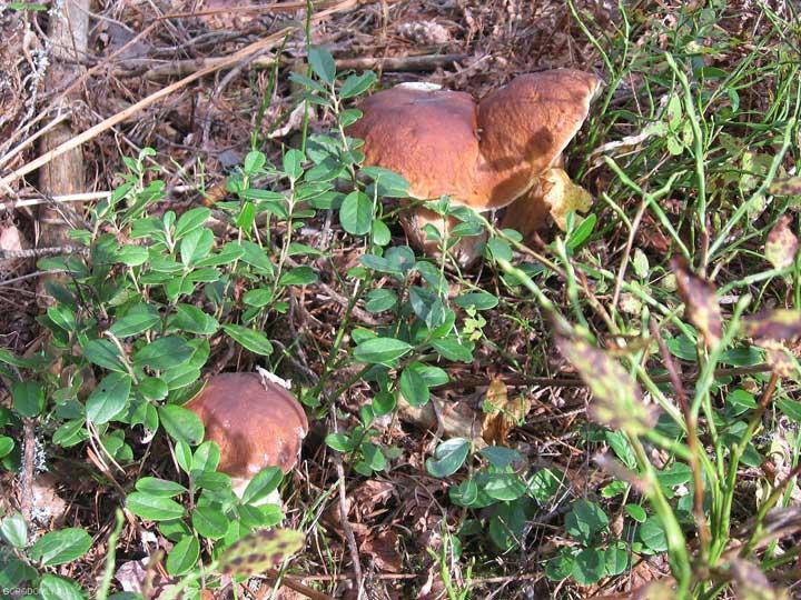 На Хачине можно набрать белых грибов