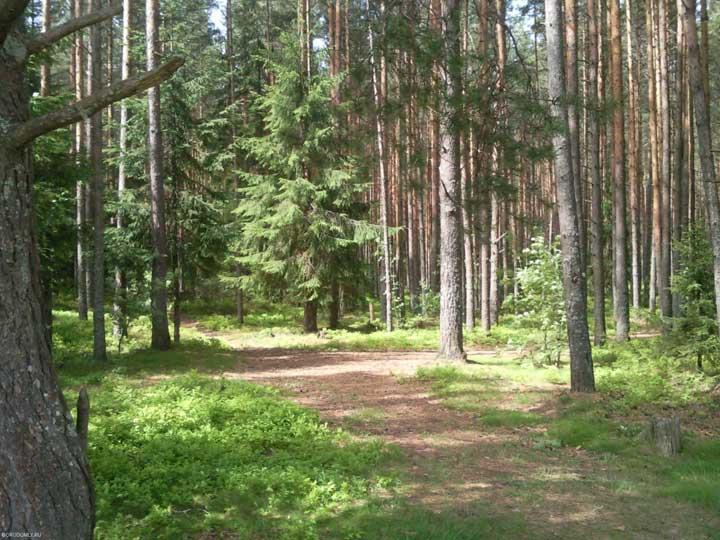Городомля. Сосновый бор в мае 2010 года.