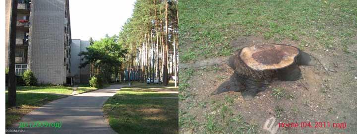 Срубили дерево серого ореха - слишком разрослось.